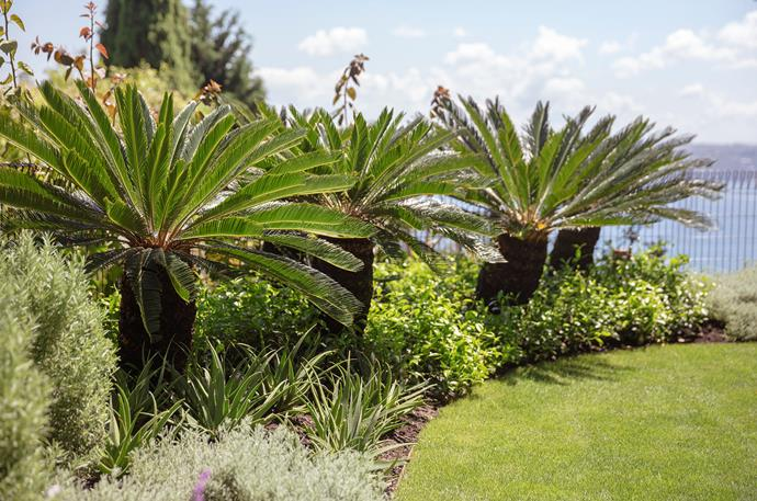 In the rear garden by the pool, *Cycas revoluta* palms stand in a bed planted in *Santolina chamaecyparissus* bushes, *Aloe* 'Fairy Pink', star jasmine and creeping rosemary.