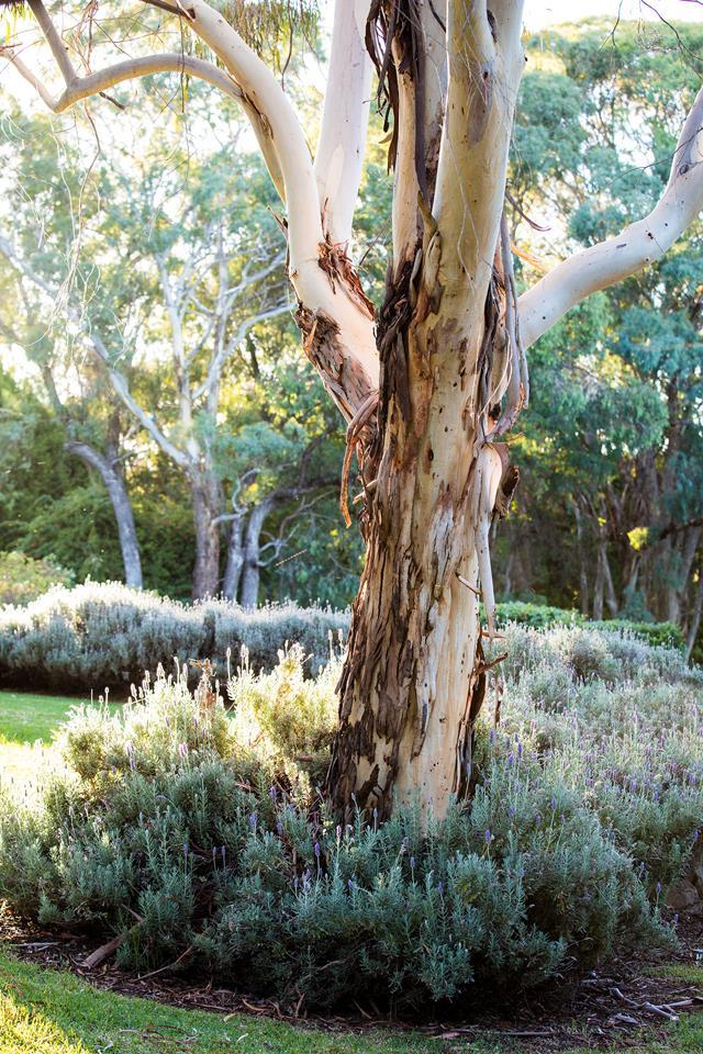 A white box gum tree *(Eucalyptus albens*) stands within a hedge of French lavender *(Lavandula dentata).*