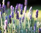 Lavender plant guide: how to grow and care for