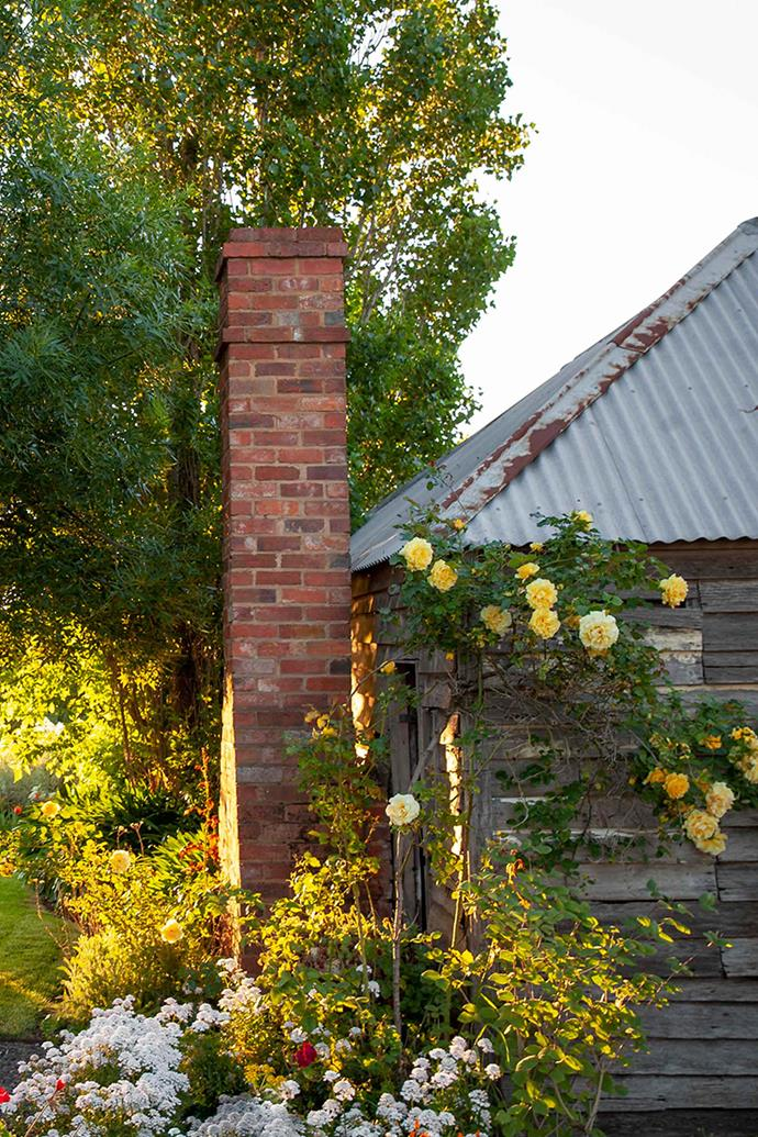 Gold Bunny roses climb over the shed.
