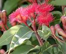Silver princess eucalyptus: how to grow this Australian native