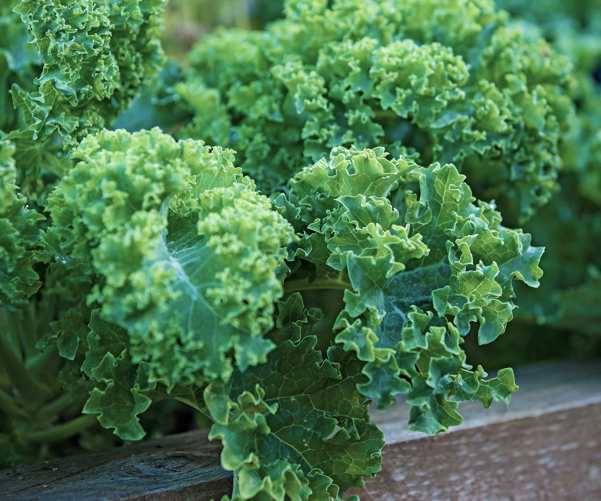 Kale: how to grow and care for