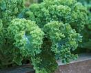 Kale: how to grow and care for this hardy vegetable