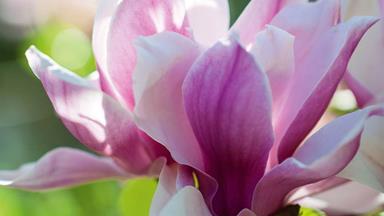 10 Magnolia tree varieties to know