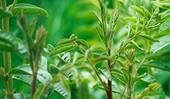 Licorice plant: how to grow this medicinal herb at home