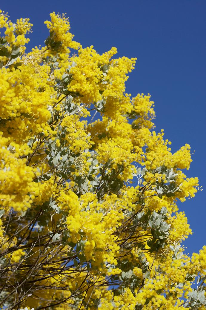 Golden Wattle (Acacia pycnantha).