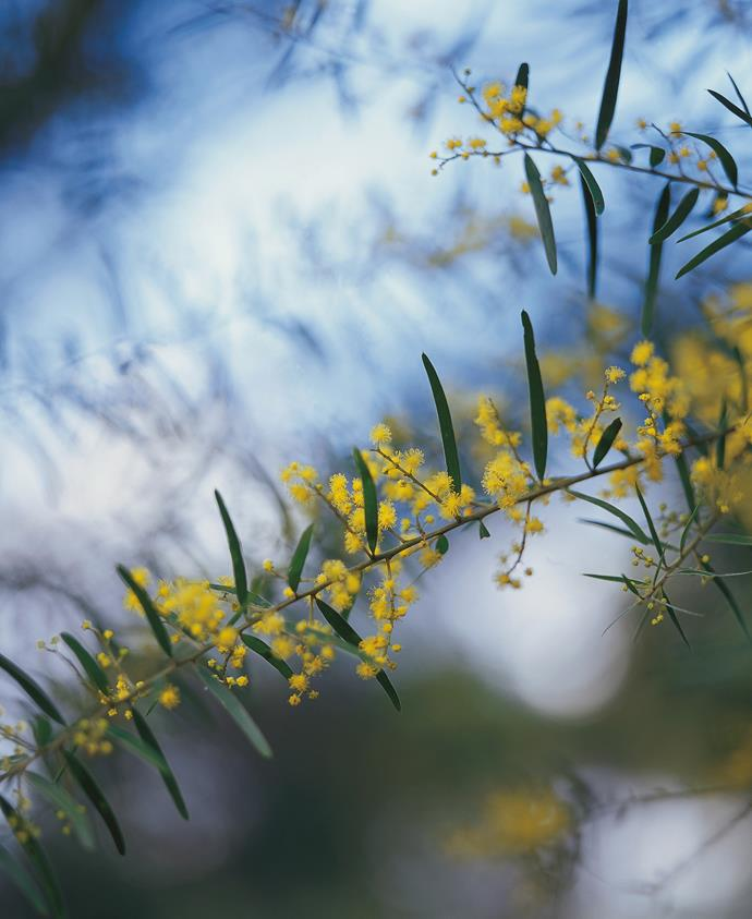 The 'leaves' on most other wattles are structurally not leaves at all, but flattened leaf stalks known as 'phyllodes'.