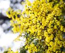 Wattle trees: a guide to growing acacias in Australia