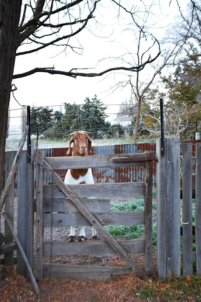 Alfredo the goat keeps watch from his run.