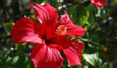 Hibiscus flowers: how to grow and care for