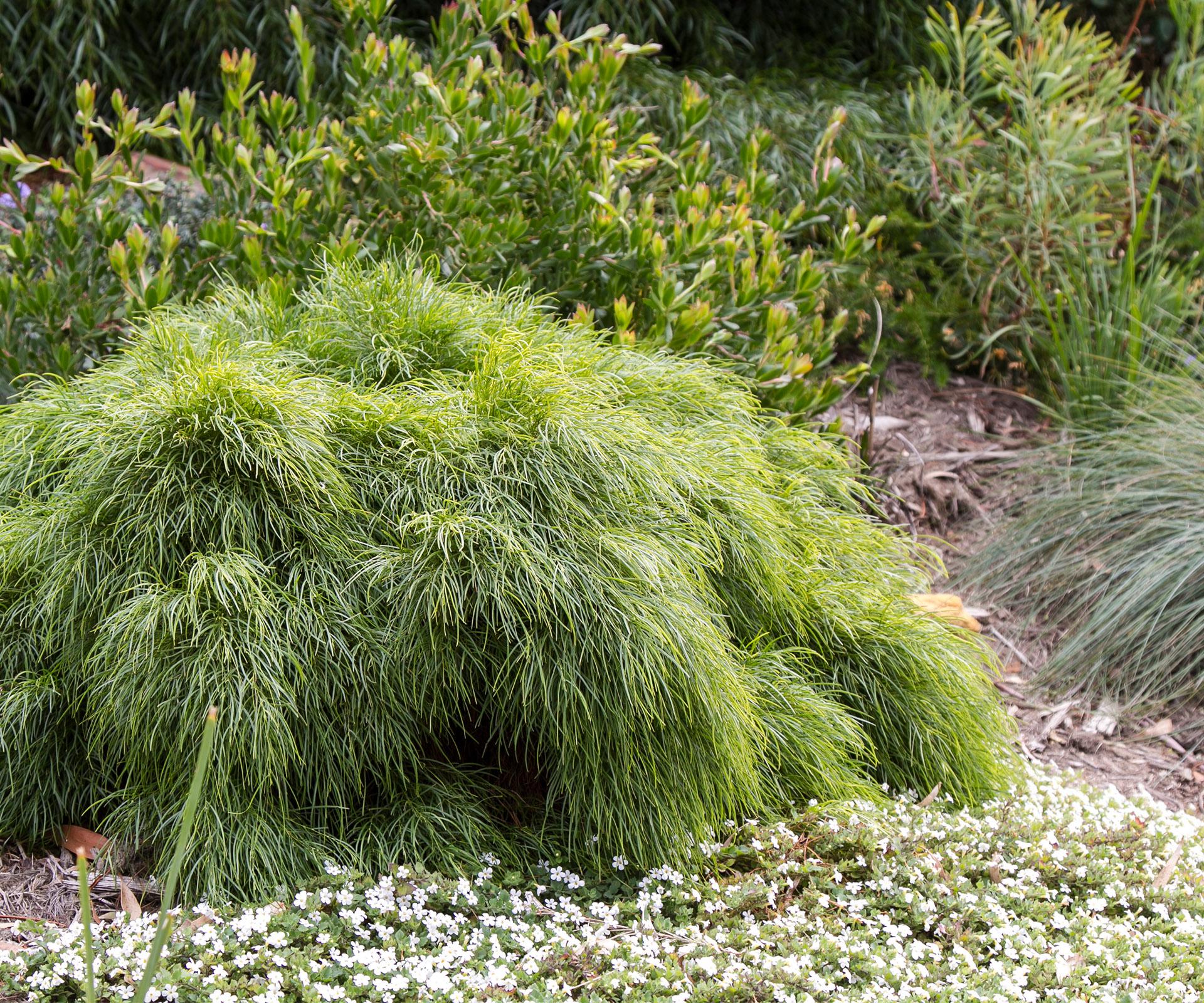 Acacia Limelight: How to grow this dwarf Acacia cognata