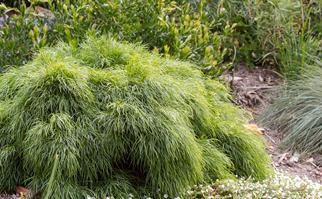 Acacia Limelight