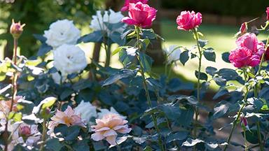 Roses that thrive in Australia