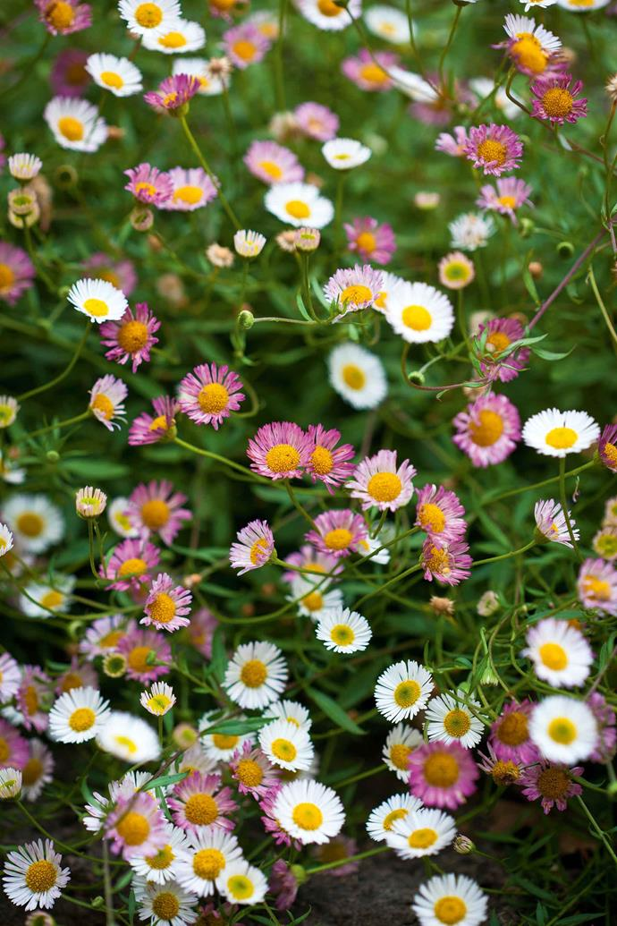 Pink and white daisies frame a section of lawn.