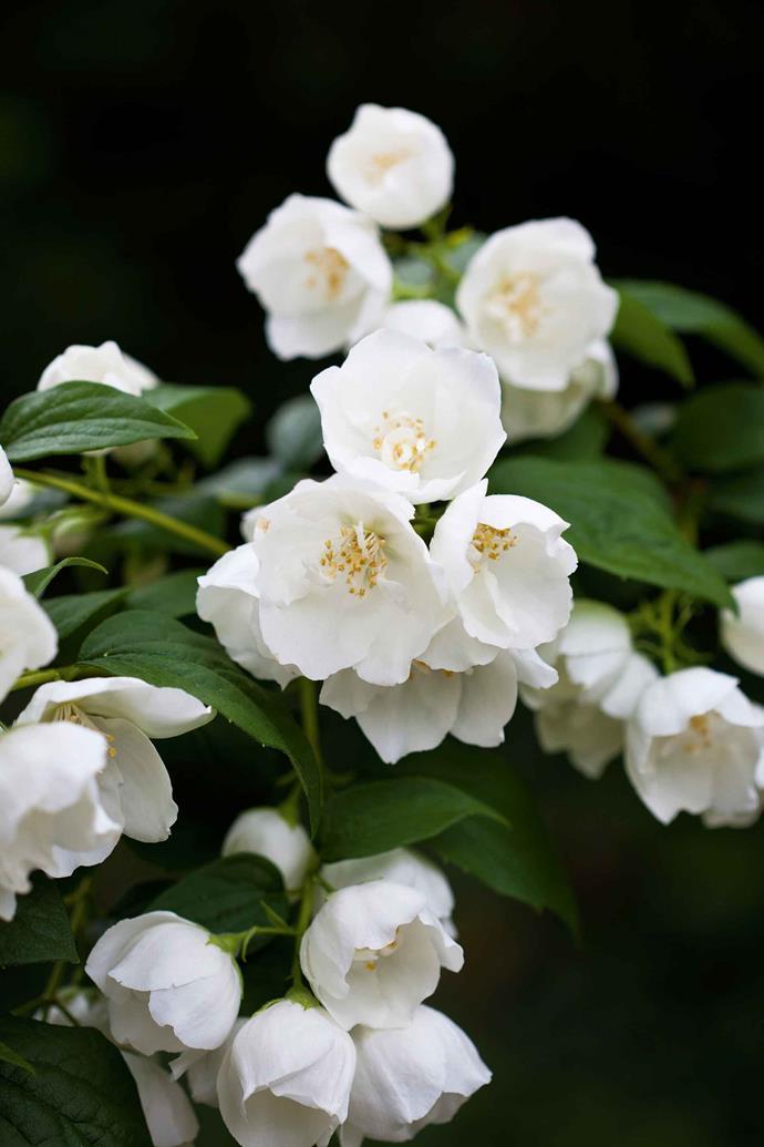 The flowering shrub philadelphus.