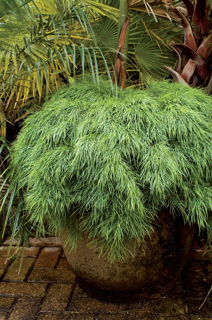 Acacia Limelight grows well in pots.