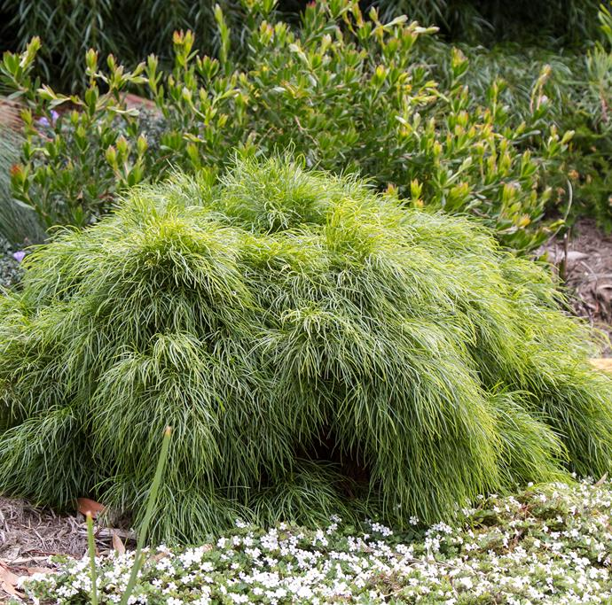 """The Acacia """"Limelight"""" is extremely versatile and can be used as a groundcover, bordering plant or simple shrubbery."""