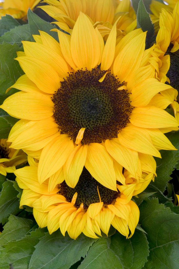 Keith White, a sunflower hybridiser, has created sunflower varieties that do not produce pollen or seeds.