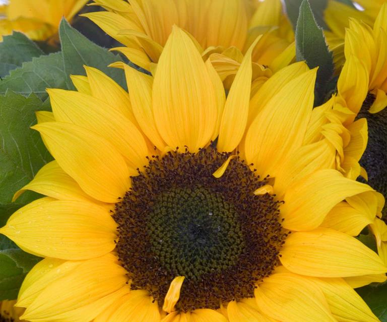 Growing Sunflowers From Seed An Expert S Tips And Tricks Country Style