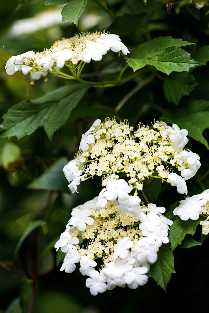 Viburnum sargentii 'Onondaga'. As they reflect on the making of their garden, they see it as a compilation of ideas gleaned from some of the world's most beautiful gardens, reinterpreted in an expression of their own creativity.