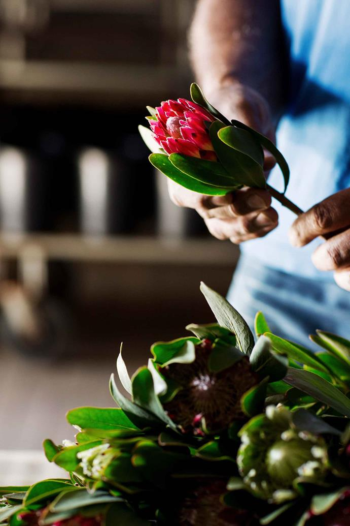 Once the proteas are cut, they're brought back to the shed to be trimmed, stripped and graded for stem length, head size and quality before being stored in buckets of fresh water in the coolroom for 36 to 48 hours so the flowers are conditioned and ready to be transported for sale.