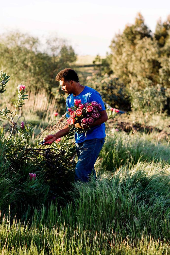 Jeremy picking proteas on the flower plantation, which was established by his mother Liz and eldest brother Charles.