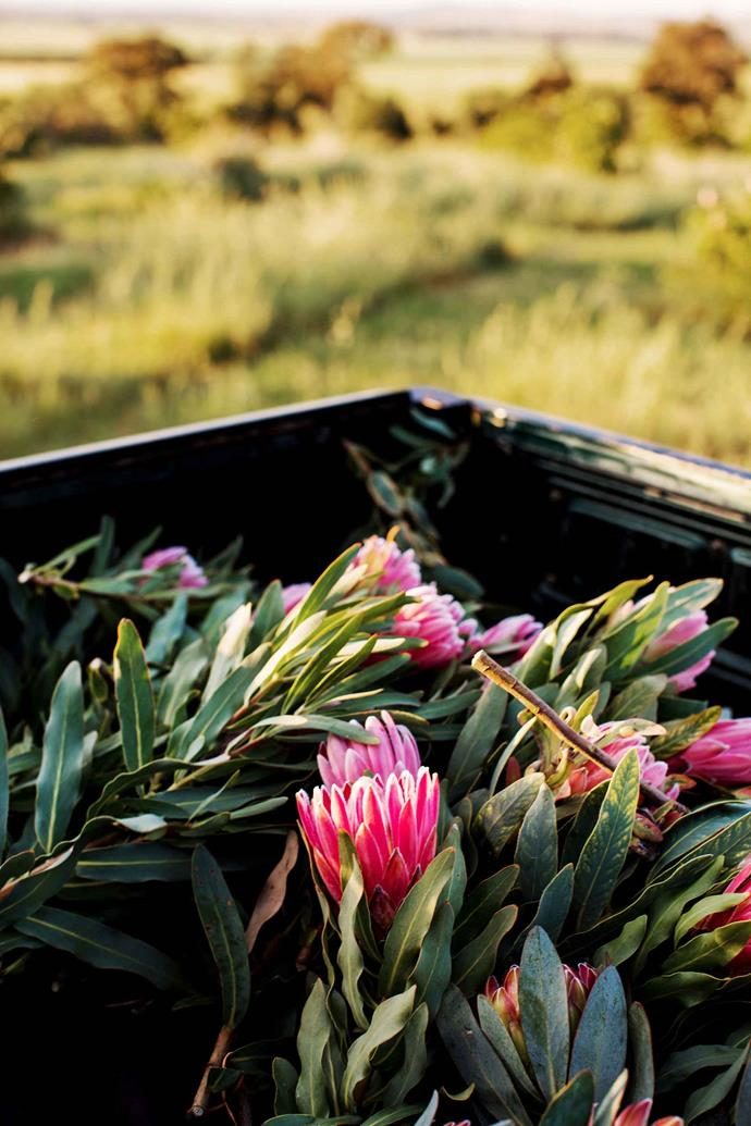 Just-picked proteas in the back of the ute. Originally established in 1986, the Hagenbach plantation is flourishing again thanks to Jeremy and his family.