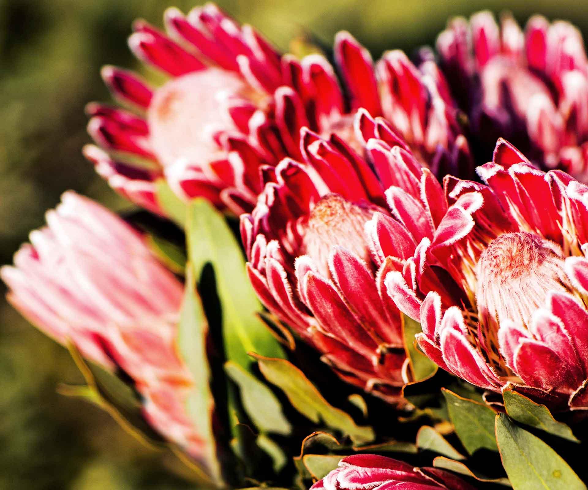 Inside a Protea flower farm in the NSW Riverina