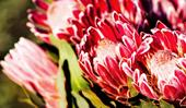 Inside a family-run protea flower farm
