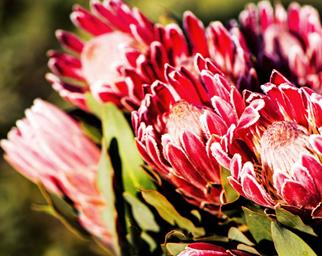 Close up of red protea flowers