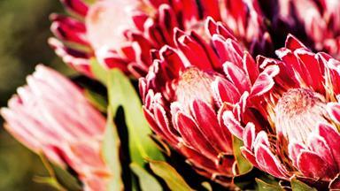 Inside a family-run protea flower farm