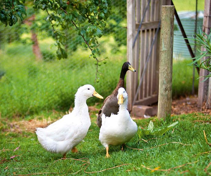 The two white Pekin ducks and an Indian Runner drake share an enclosed orchard with four hens and three rabbits.