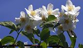 Philadelphus: how to grow 'mock orange' in Australia