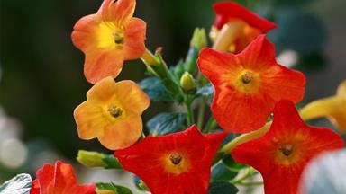 Marmalade bush: how to grow this vibrant ornamental