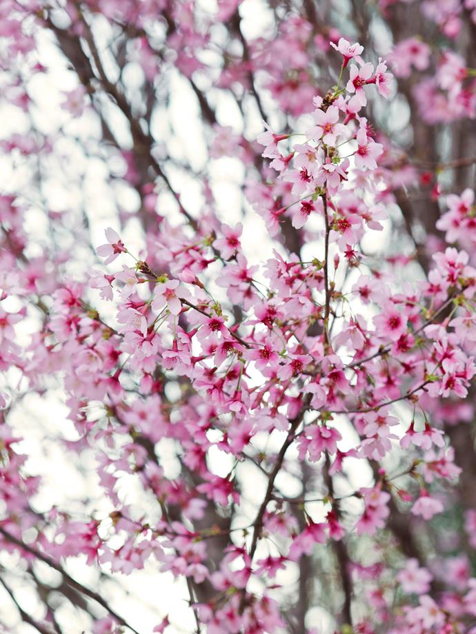 Cherry trees put on a breathtaking display with their branches of frothy blossoms in early spring.