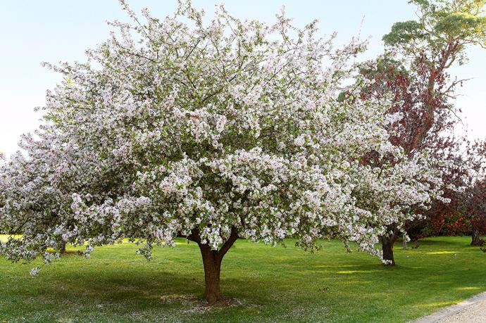 Blush pink blossoms and ornamental fruit make the crab apple tree a popular choice.