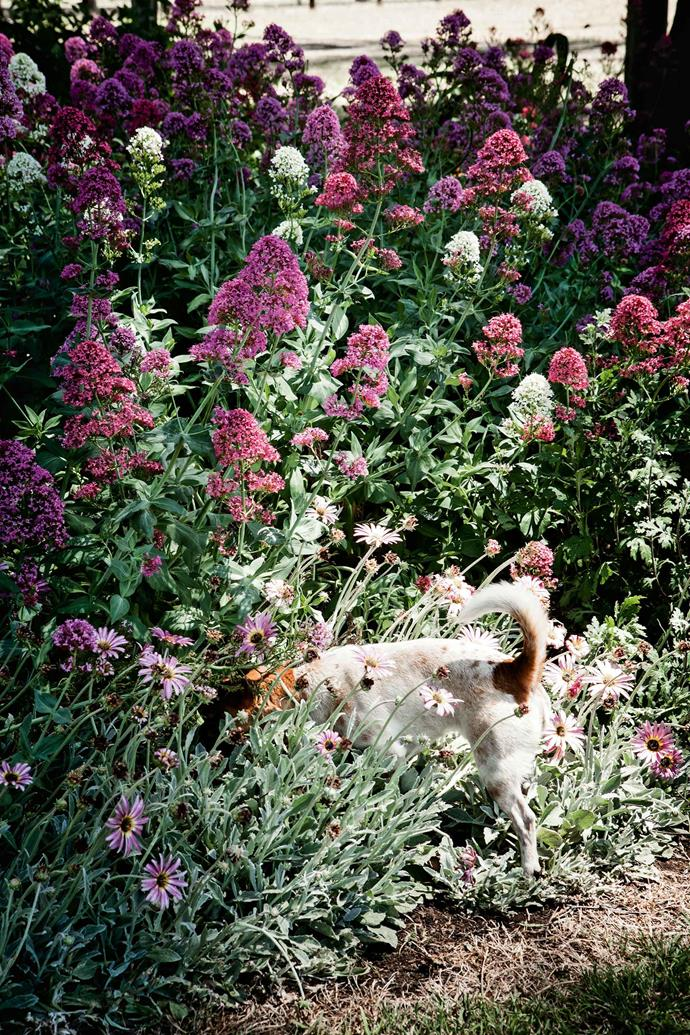 Jack Russell Ralph conducts a searching examination of a bed filled with pink and white valerian, and edged with African daisies (Arctotis).