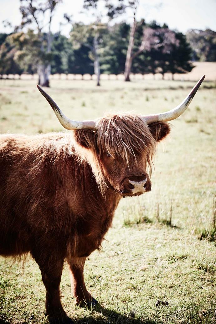 Deva, one of the Highland cattle.