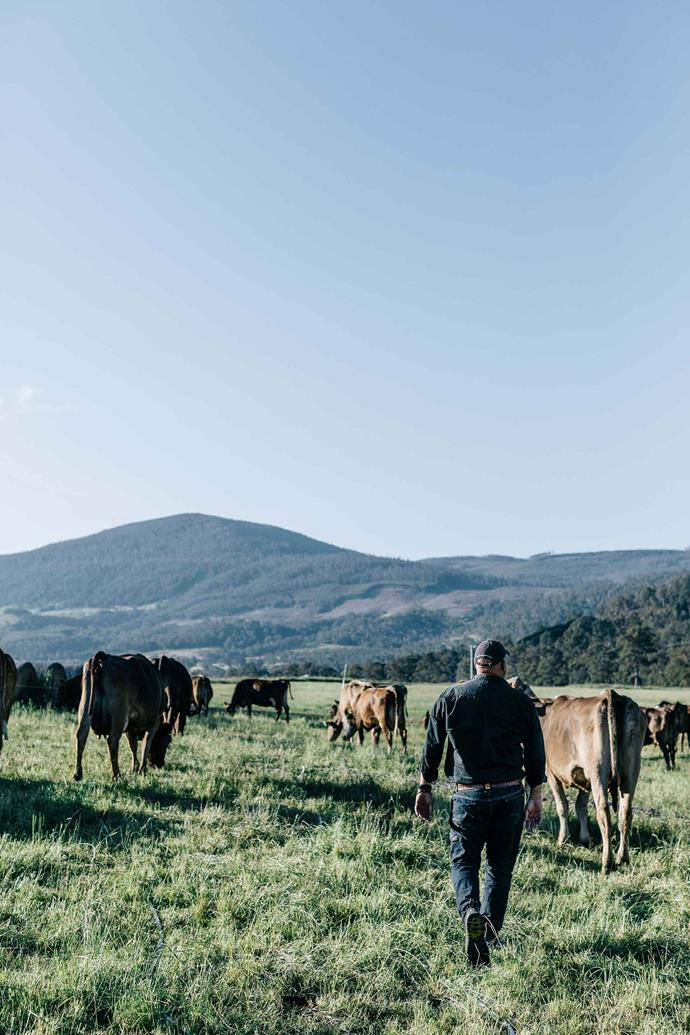 Nick among his milkers on the farm at Glen Huon, Tasmania. Nick honed his craft in Europe after being awarded a Queen's Trust Grant to work with cheesemakers in England, Scotland, Ireland, Spain, France and Italy, where he learned traditional cheesemaking and maturation techniques.