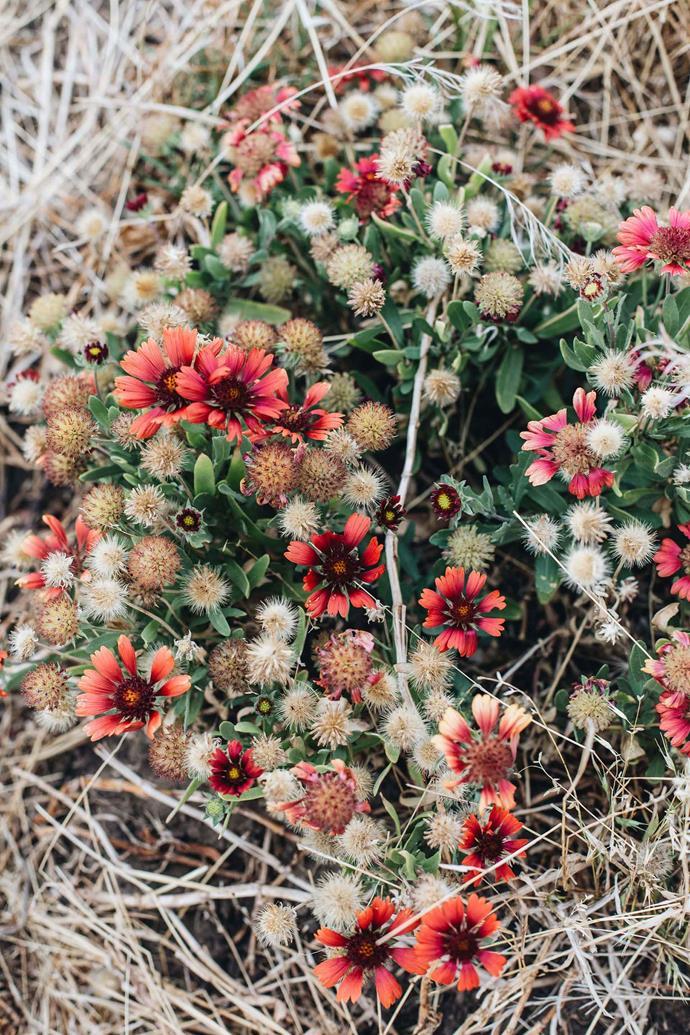 The striking flowers of Gaillardia 'Arizona Sun'.