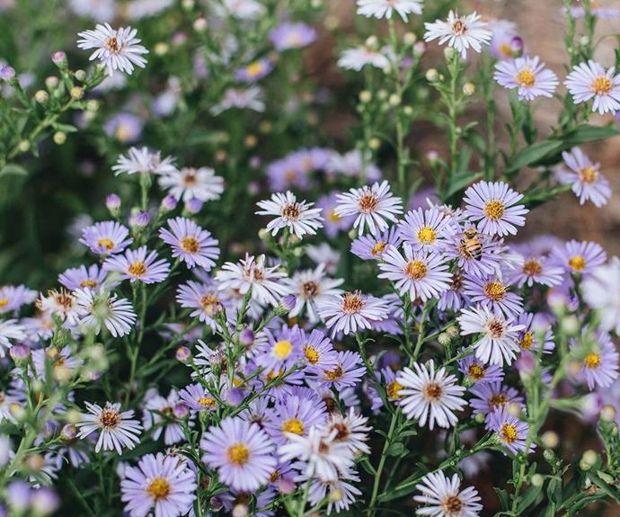 Bees love the Aster 'Otis' flowers in the garden.