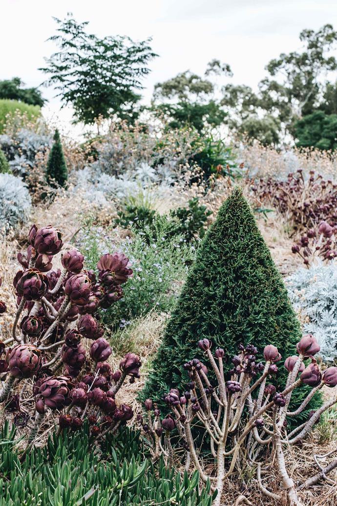 Cupressus x leylandii 'Leighton Green' cones pop up among the shrubs.