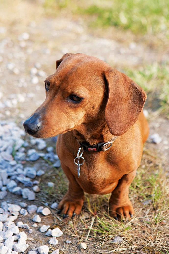 Dachshund Olive is one of two dogs on the property.