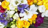 Freesias: growing and care tips for bulbs and flowers