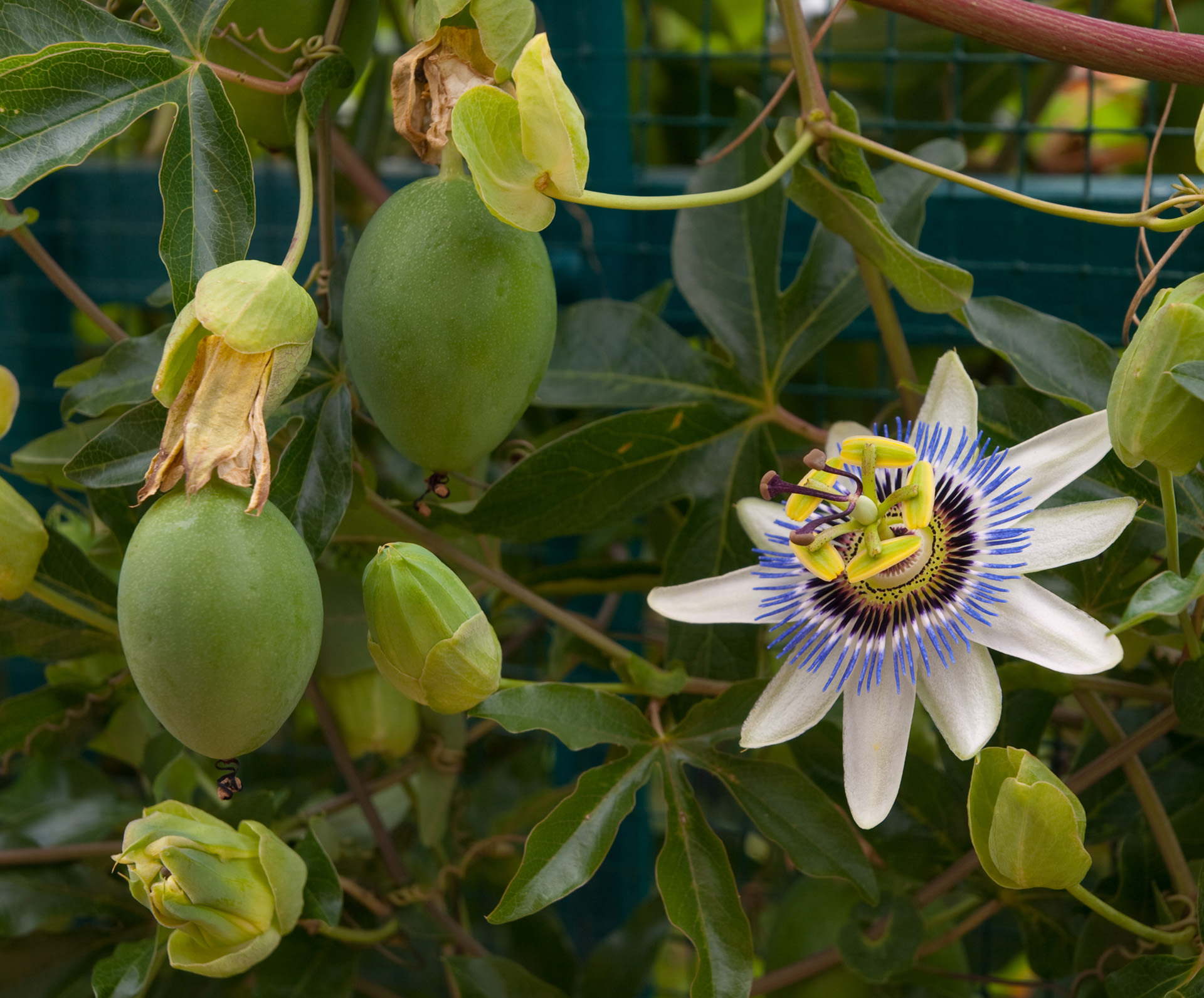 Passionfruit pests and how to get rid of them