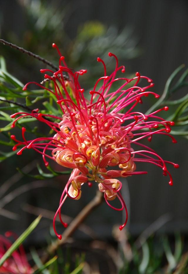 Grevillias make a great flowering hedge.
