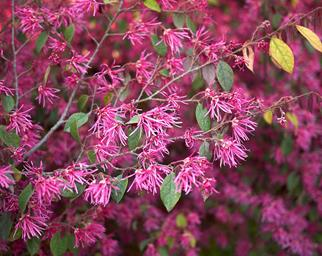 Loropetalum plum gorgeous