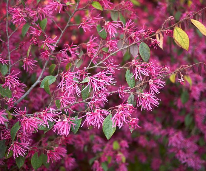 Loropetalum plum gorgeous