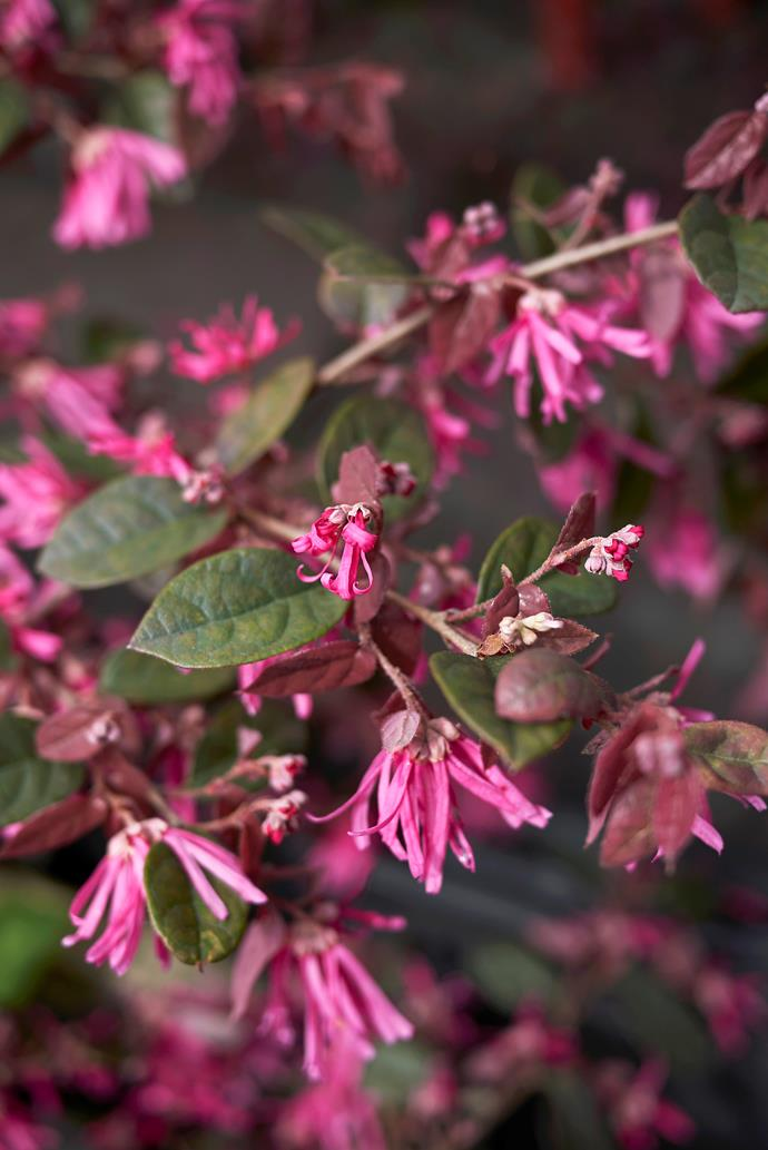 As it's low growing, plant 'Plum Gorgeous' at the front of garden beds for maximum impact.