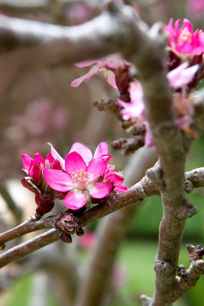 Depending on the species, crabapple flowers can range from dusty pink to rosy-red in colour.